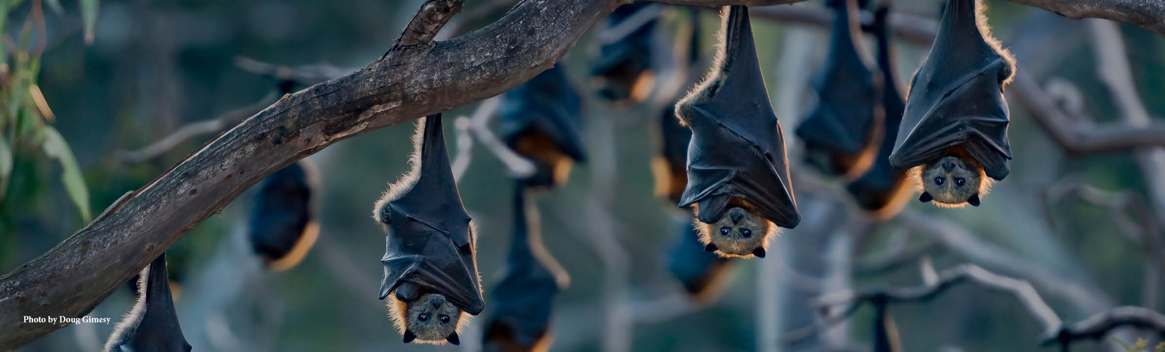 Grey-headed-flying-fox-banner-1800x544px.jpg